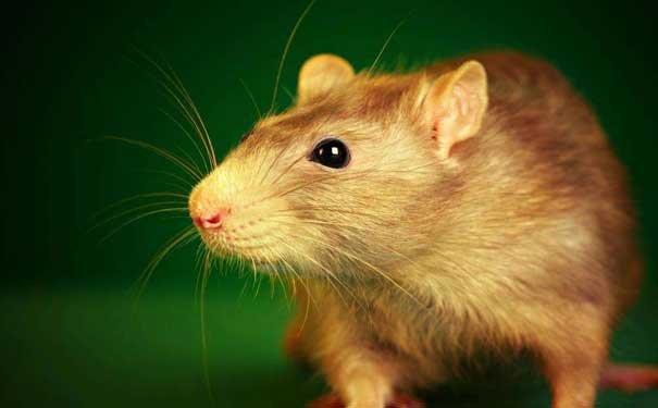 南美洲栗鼠居住环境的注意点